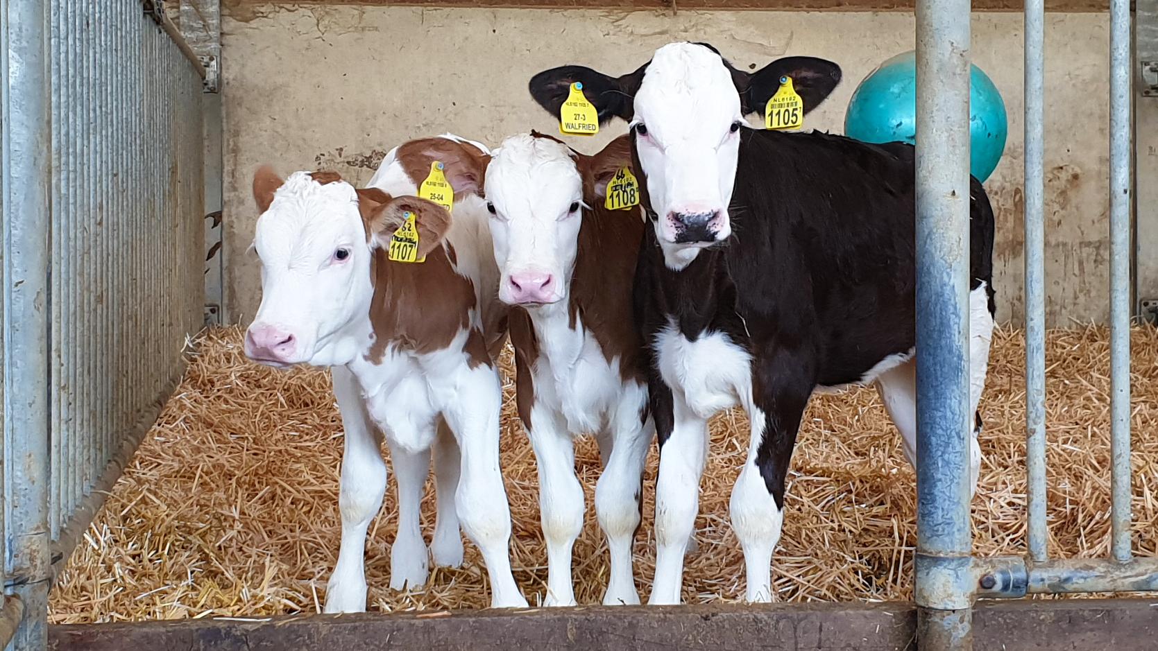 Nieuwsgierige speelse kalfjes die je uitdagend aankijken bij melktap heeswijk dinther